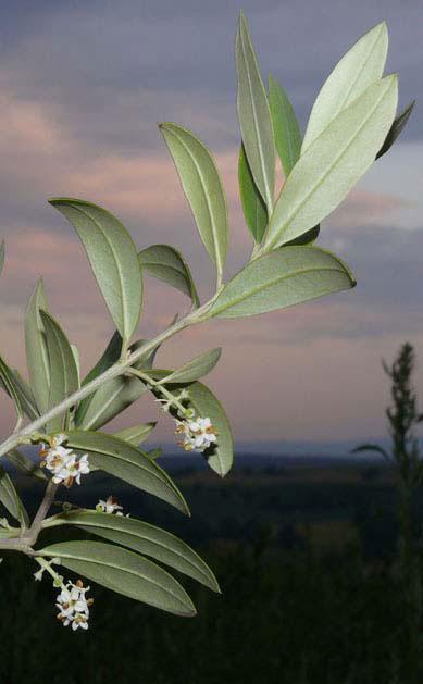 geschwärzte oliven schädlich